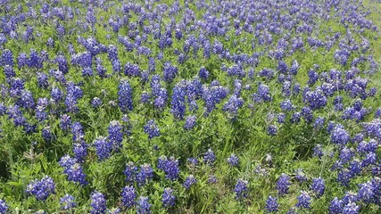 Blooming Texas Bluebonnets on highway