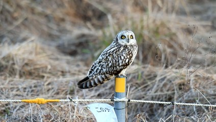 Short-eared Owl (Asio flammeus) in Japan