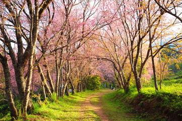 Spring Cherry Blossom Trees