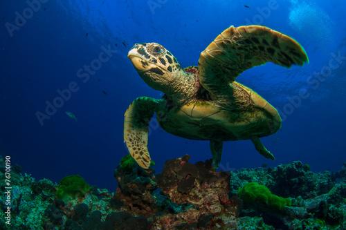 Poster Hawksbill Sea Turtle