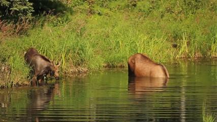 Alaska Moose Spring River Nature