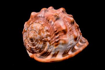 Orange Conch Sea Shell