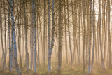 Morning fog in the birch woods