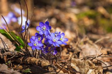 Hepatica that bloom in early spring