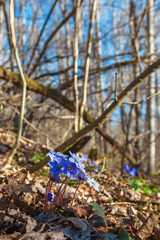 Liverleaf flowers that bloom in early spring in the forest