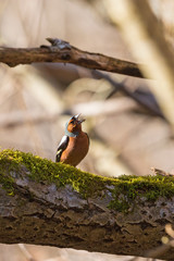 Chaffinch singing on a tree branch