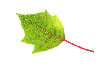 green leaf of poinsettia christmas tree isolated