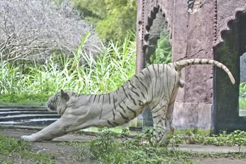 tigre bianca asitica