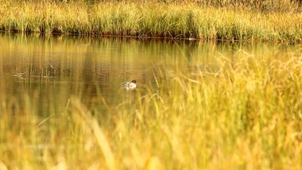 Water Ducks Trees.