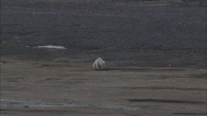 Polar Bears Norwegian Lake