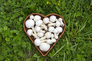 white wild  mushrooms champignons in basket on grass