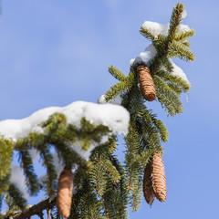 Tanne mit Schnee und Zapfen