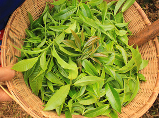 fresh tea leaves in bamboo basket.