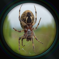 Garden spider on web in objective lens