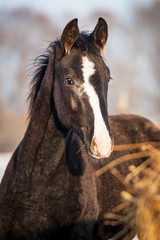 Portrait of young horse in winter