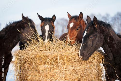 Leinwanddruck Bild Four young horses eating hay outdoors