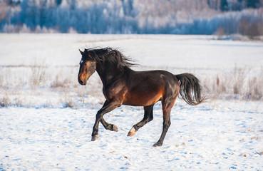 Beautiful bay stallion running gallop in winter