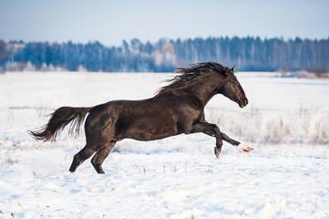 Beautiful black stallion running in winter