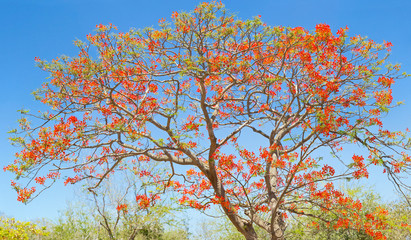 flamboyant fleuri, arbre tropical