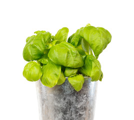 Fresh basil in a iron pot