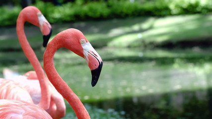 Graceful American flamingos standing still