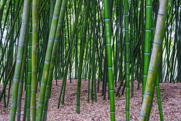 Green bamboo filed in a forest