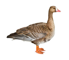 Wild White-Fronted Goose Cutout