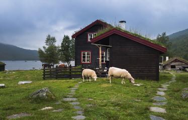 Sheeps near a norwegian house at the lake shore