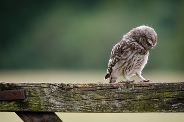 Lonely Little Owl