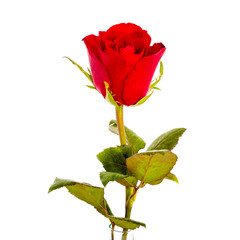 Single beautiful red rose isolated on white background