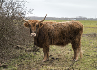 old mammal galloway cow with horns