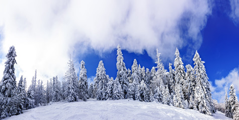Snow-covered trees in a ski resort of Carpathian Mountains.Panor