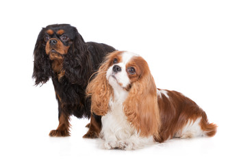 two cavalier king charles spaniel dogs on white
