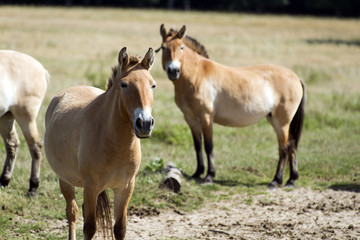 Przewalski's (rare horse breed)