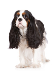 tricolor cavalier king charles spaniel dog standing