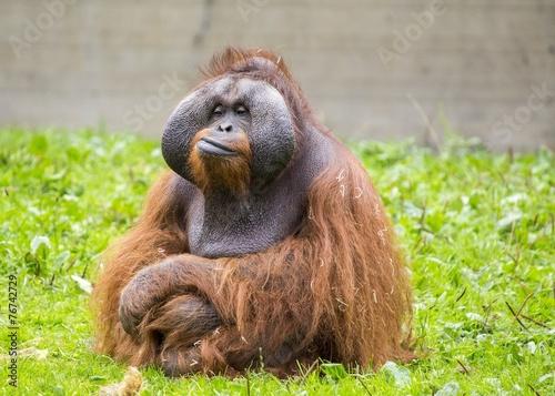 Fotobehang Aap Orangutan