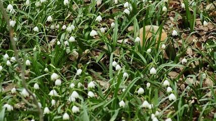 Märzbecher im Frühjahr in Überkingen