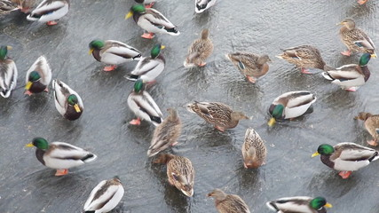 Ducks in the water, top view