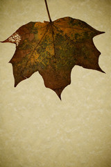 Dried maple leaf on gold grunge background