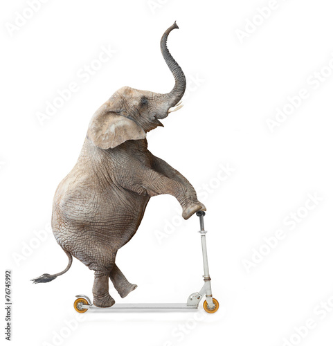 canvas print picture African elephant (Loxodonta africana) riding a push scooter.