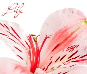 Lily bud macro