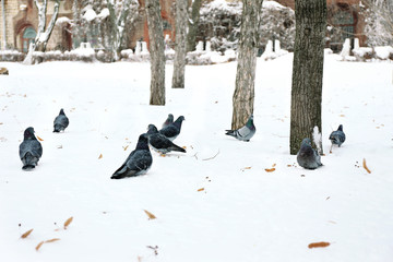 Group of doves on snow in park in winter time