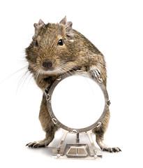 degu rodent playing big drum
