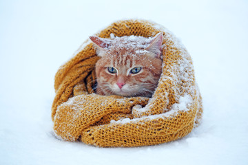 Beautiful red cat wrapped in scarf on snow background