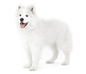 Friendly Samoyed dog isolated on white