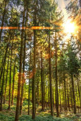 sun in the pine-forest