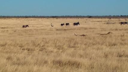 Male lions zebras background Etosha Namiba Africa