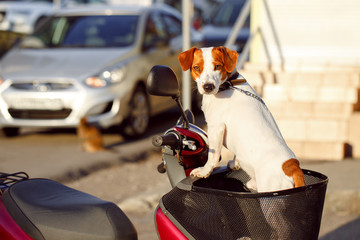 dog in a basket scooter