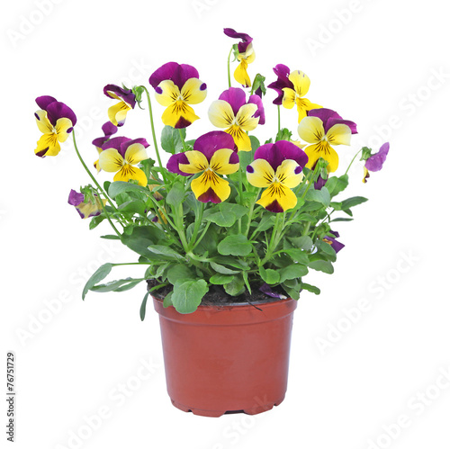 Fotobehang Pansies pot de viola cornuta