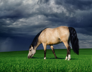 Arabian pony on a meadow before a thunder-storm